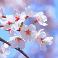桜の名所・お花見