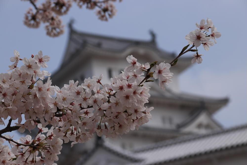 リフトマンの休日写真さんの姫路城の桜への投稿