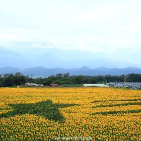 平岩蘭さんの明野のひまわり畑への投稿