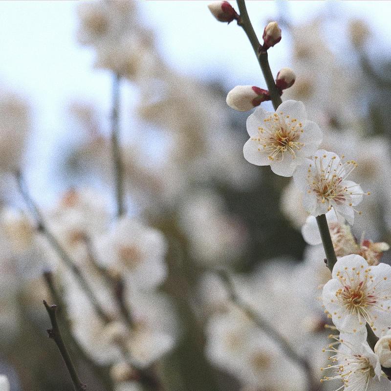 梅 の 名所 関東